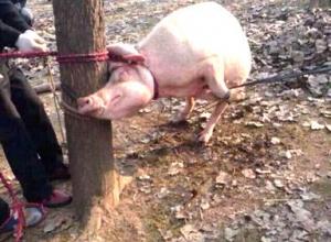 母猪咬死男童 体内现头骨 [图]